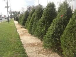 How To Pick A Christmas Tree  Choosing A Christmas TreeChristmas Tree Cutting Nj