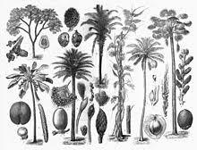 Arecaceae Wikipedia