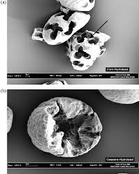 Image result for STARCH GRAIN AMYLOLYSIS