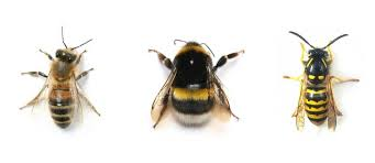 Bee And Wasp Identification Chart Uk Is It A Honeybee A Bumblebee Or A Wasp Beeloved
