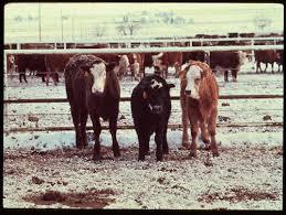 <b>Feeder</b> Calf Grading Fundamentals   UGA Cooperative Extension