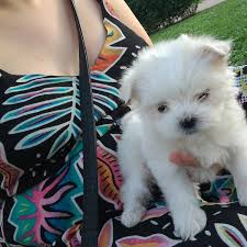 charleston vioio two teacup maltese puppies needs a new family dogs puppies