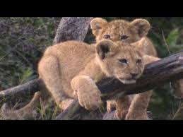 real jungle animals. Contemporary Jungle Baby King Of The Jungle  Amazing Animal Babies Lion Ep 4 Earth  Unplugged With Real Jungle Animals A