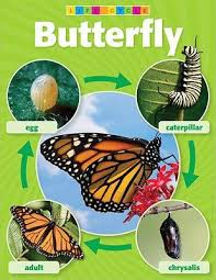 Butterfly Life Cycle Photo Chart Teachers Friend