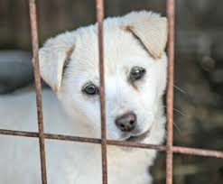 humane society dogs.  Society Two Hundred Dogs From South Korean Dog Meat Farm Rescued And Transported To  The US UK Canada For Adoption And Humane Society Dogs E