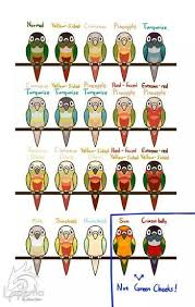 Different Types Of Green Cheek Conures Justice Is A