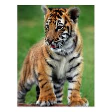 cute baby tiger. Perfect Baby A Cute Baby Tiger Postcard Intended Cute Baby Tiger T