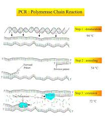 Structural Biochemistry Polyermase Chain Reaction How Pcr Is
