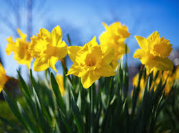 83,982 Daffodil Stock Photos, Pictures & Royalty-Free Images - iStock
