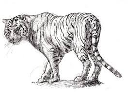tiger black and white drawing. Plain White Gallery For White Tiger Drawing Sketch Sketch Drawing Black  And Sketches On L