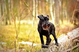 image showing a miniature schnauzer in a forest