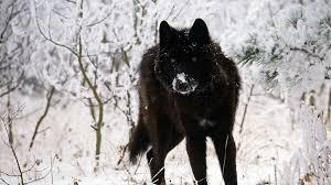black wolf wallpaper 1920x1080. Beautiful Black Black Wolf Wallpapers 1920x1080 WallpapersWolf  Desktop  Background And Wallpaper F