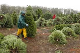 The OregonianWorkers cut and stage Christmas trees for shipment Wednesday  at Aurora-based Yule Tree Farms, which ships about 500,000 trees a year.