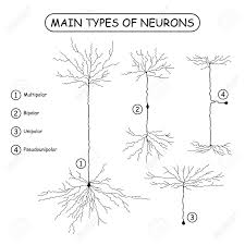 Four Main Types Of Neurons Isolated On White Realistic Neuron