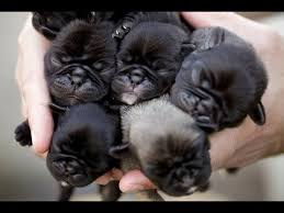 newborn baby pugs. Delighful Newborn Newborn Pug Puppies How Can You Not Want A Million Inside Baby Pugs O