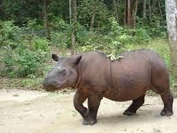 وحيد القرن السومطري - ويكيبيديا