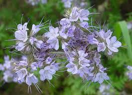 faselya bitkisi ile ilgili görsel sonucu