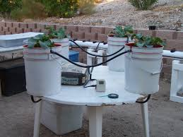 once back in the drip system all set up and growing broccoli plants