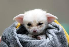 newborn fennec fox. Brilliant Newborn Newborn Fennec Fox For Fennec Fox