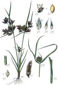 Cyperus michelianus – Wikipedia