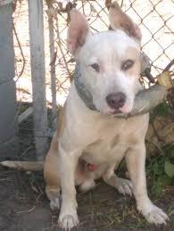 bull terrier bulldog mix.  Bulldog English Bull Terrier Mix American PitBull Terrier  Pitbulls  Go Pitbull  Dog Forums Intended Bulldog F
