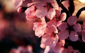 pink flower wallpaper free