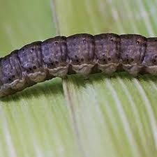 Black Cutworm Moths Showing Up In Big Numbers