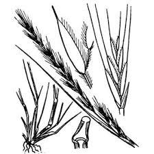 Genere Vulpia - Flora Italiana