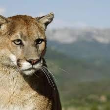 Raubtiersichtung: Ein Puma in Flensburg: Fast wie 1982