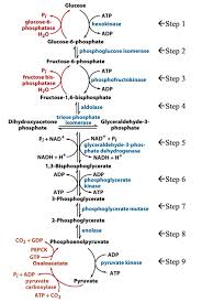 Glycolysis Chart With Enzymes Solved Use The Glycolysis Gluconeogenesis Chart Below To