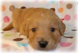 golden retriever newborn puppies. Contemporary Retriever ThoseGoldensGolden Retrievers U0026 Doodles Inside Golden Retriever Newborn Puppies E