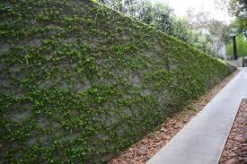 Best 25 Vine Fence Ideas On PinterestClimbing Plants For Fence
