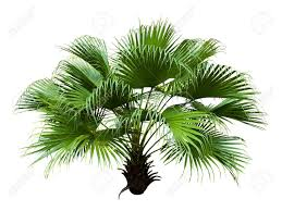 fan palm. chinese fan palm isolated on white background stock photo - 18103591