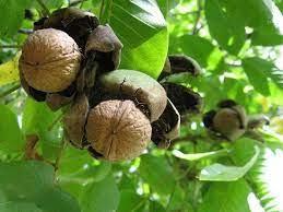 عشاق زراعة - 🌳 🌳 شجرة الجوز وثمارها 🌳 🌳 شجرة الجوز (...   Facebook