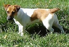 Jack Russell Terrier Dog Breed Information And Pictures