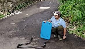 Pasca banjir jabodetabek, ular dikabarkan muncul di beberapa kediaman yang terdampak bencana air bah tersebut. Cegah Ular Masuk Rumah Dengan Karbol Wangi Top Satu