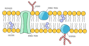 biological membranes a level the