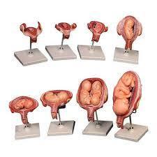 مراحل تشکیل جنین 8 قسمتی – فروشگاه لوازم و تجهیزات آزمایشگاهی آزماگران