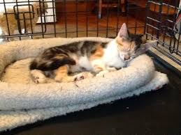 petco cats for sale. Delighful Cats Theresa The Kitten And Other Cats Available At Unleashed Adoption Event  This Sunday Intended Petco For Sale P