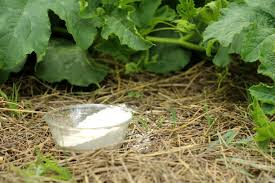 uses for diatomaceous earth in the garden as natural pest control