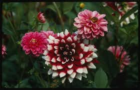 what causes flowers to have diffe