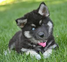 black german shepherd puppies with blue eyes. Plain Shepherd Old ShepherdHusky Mix Puppies They Are Just A Joy Happy Little Fluff  Balls The Adoption Fee For Each Puppy Is 445  Gigi The Blue Eyed Pup Throughout Black German Shepherd Puppies With Blue Eyes