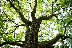 Descifrarea genomului nuciferelor, o cale pentru arbori mai rezistenți la dăunători