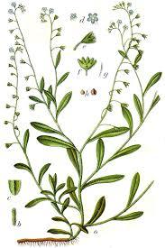 Myosotis laxa subsp. caespitosa – Wikipédia, a enciclopédia livre