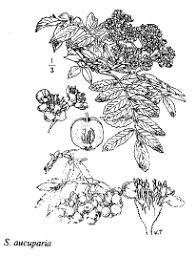 Sp. Sorbus aucuparia - florae.it
