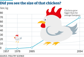 Poultry Panic Could Chickens Be Human Sized By The End Of
