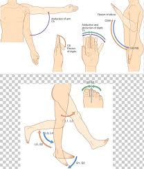 Thumb Dermatome Myotome Anatomy Sacral Spinal Nerve 1 Png