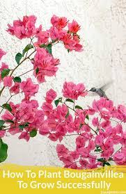 a hummingbird feeds off a pink bougainvillea in full bloom against a white wall the