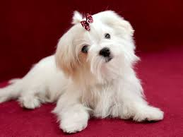 New Jersey Maltese Maltese Lindos Cachorrinhos Maltese