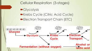 Cellular Respiration Where Do Animal Cells Get Their Energy